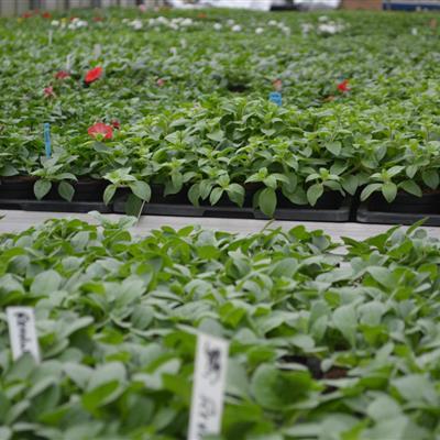 Gewächshaus Jungpflanzen Sofinia